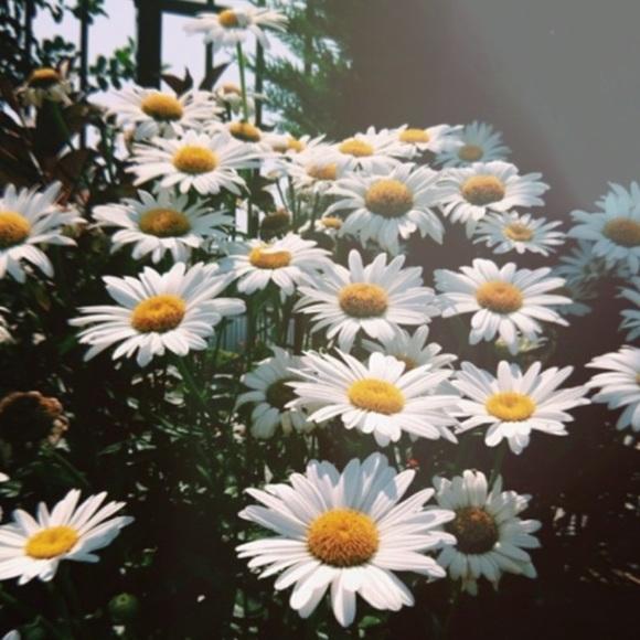 lulu_daisy